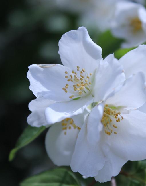 flor de taronger