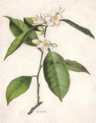 flor de taronger 2