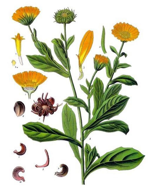 herbari calèndula