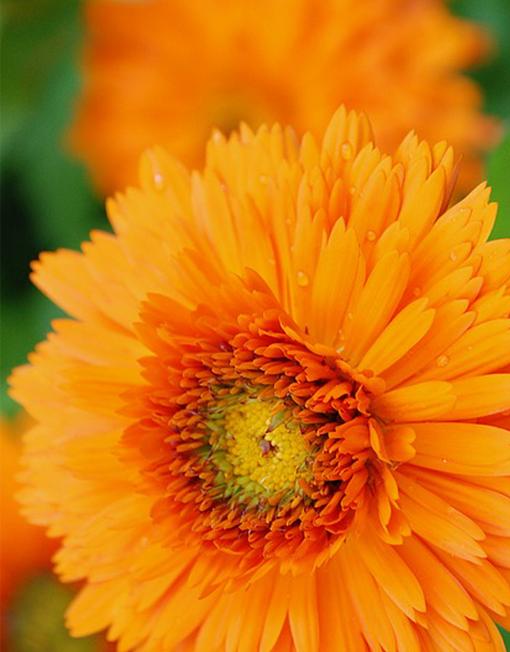 flor calèndula