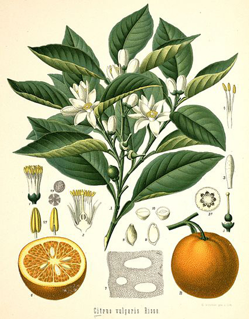 herbari mandarina verda