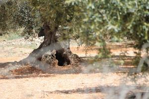 olivera1