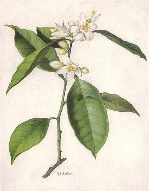 herbari flor de taronger