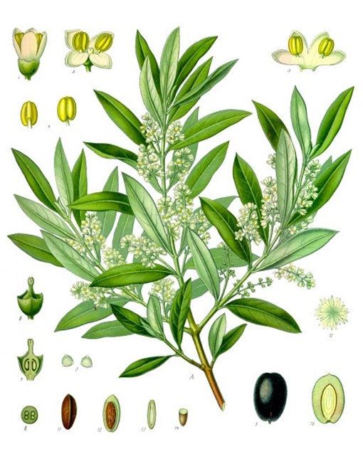 herbari olivera