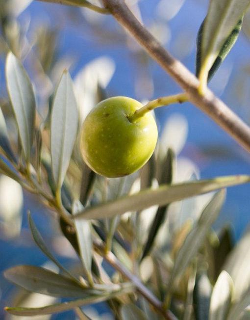 branca olivera